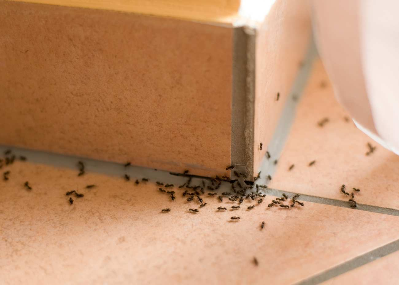 how-to-kill-sugar-ants-graphic